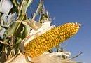 Récolte du maïs: faible taux de mycotoxines