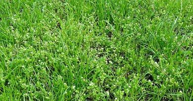 Désherbage des prairies – Traitements de printemps