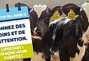 A la recherche de la bonne composition du lait de veau