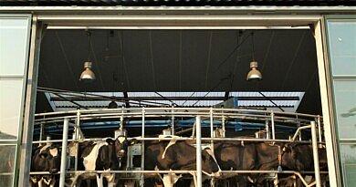 Une vache en chaleurs: faut-il déjà l'inséminer ou attendre?