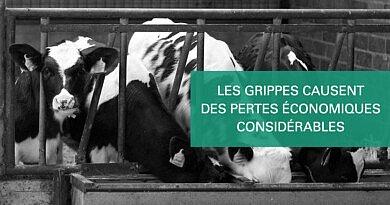 Comment la grippe influence la productivité du veau à long terme ?
